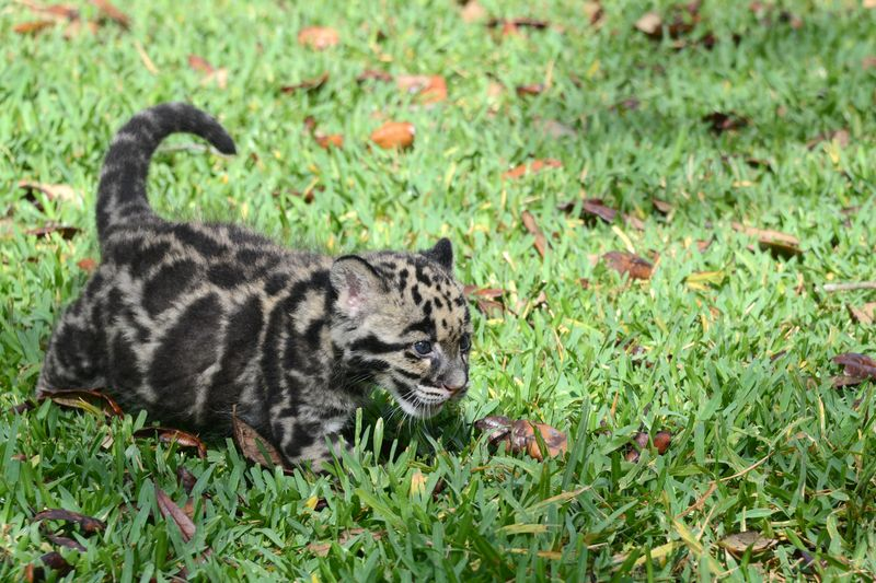 Asia clouded leopard cub 3 apr 17 2015