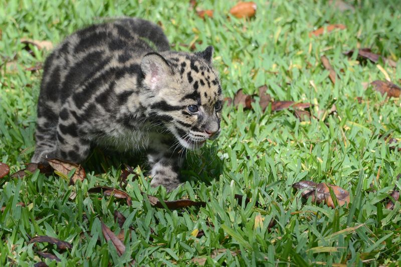 Asia clouded leopard cub 4 apr 17 2015