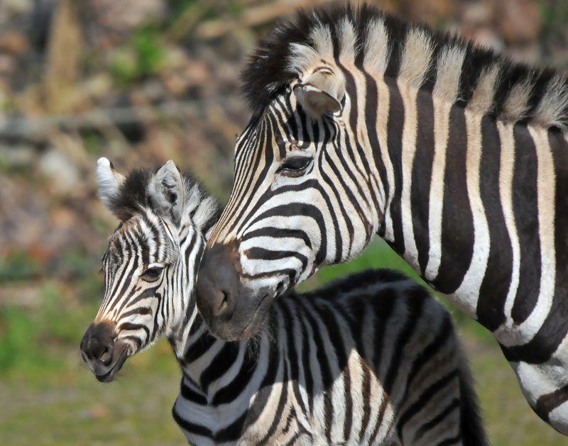 TD Zebra foal_5