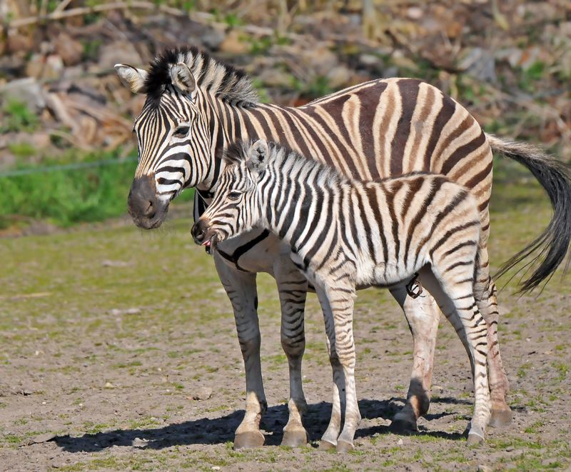 TD Zebra foal_1
