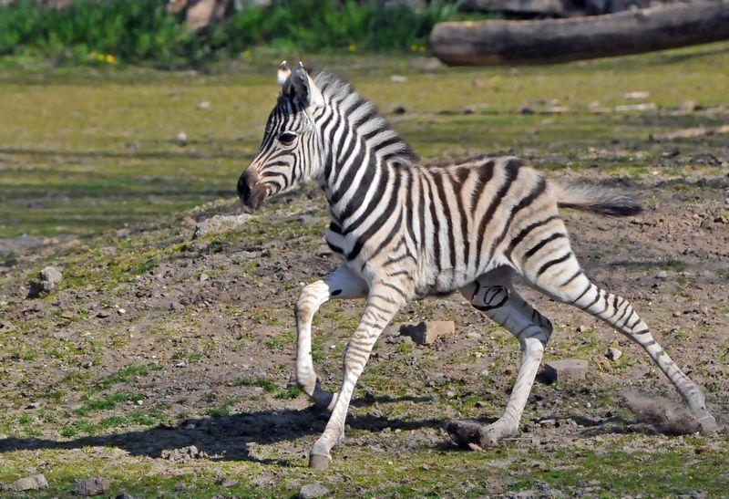 TD Zebra foal_3