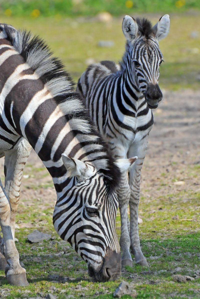 TD Zebra foal_2