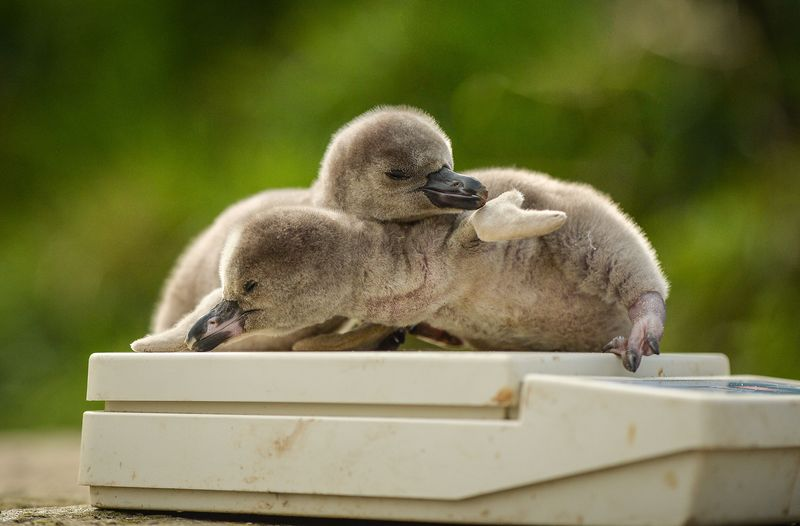 PenguinChicks-18