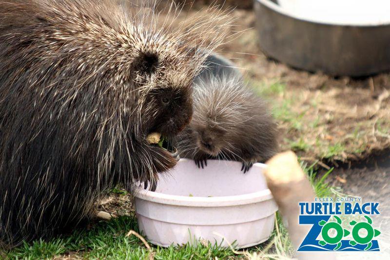 Turtle Back Zoo Porcupine Baby