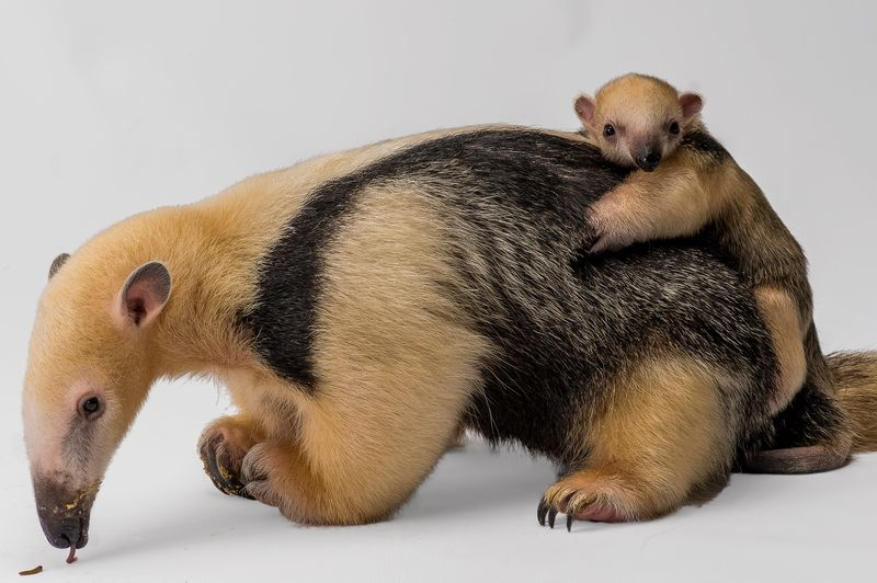 Tamandua_Steve_Yensel_Staten_Island_Zoo