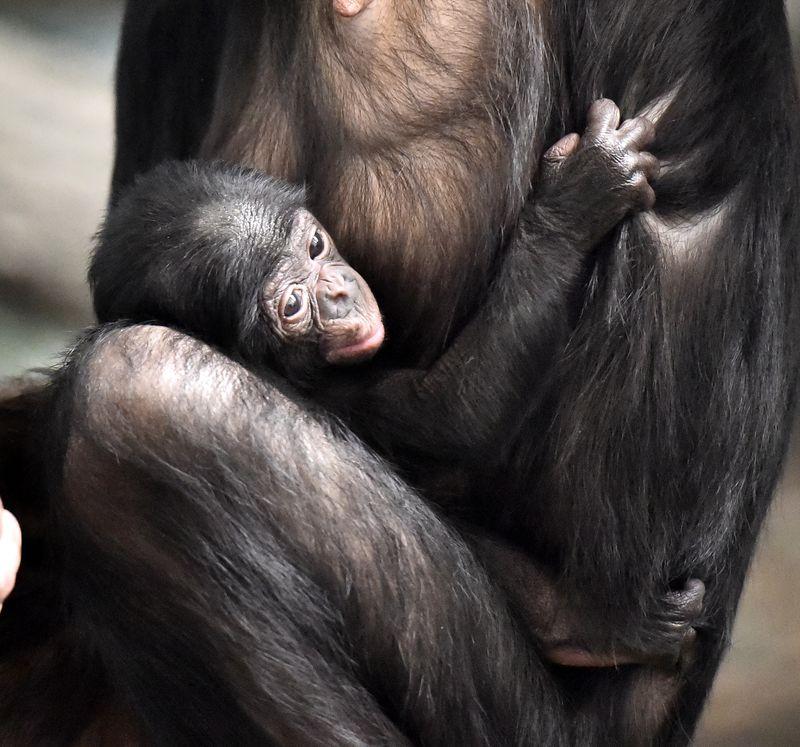 2015-04-11 Baby Bonobo Bolingo- Bo- Jeff McCurry