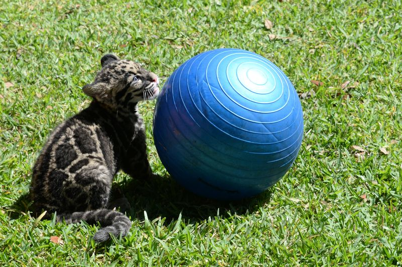 1_asia clouded leopard mowgli play 0 may 7 2015