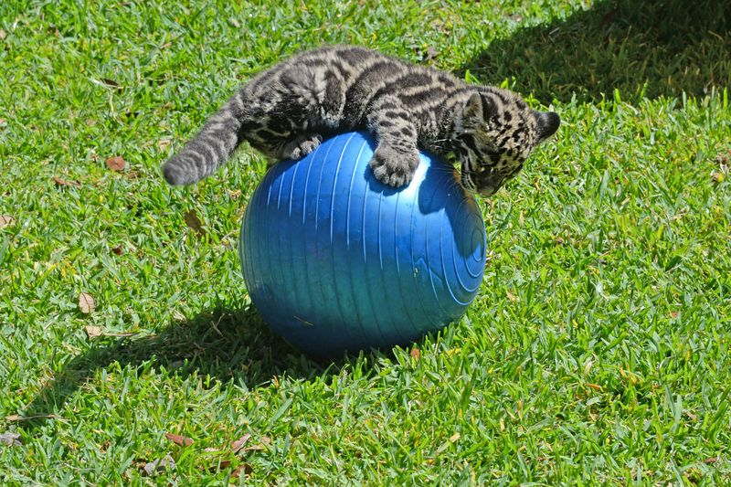 4_asia clouded leopard mowgli play 2 may 7 2015