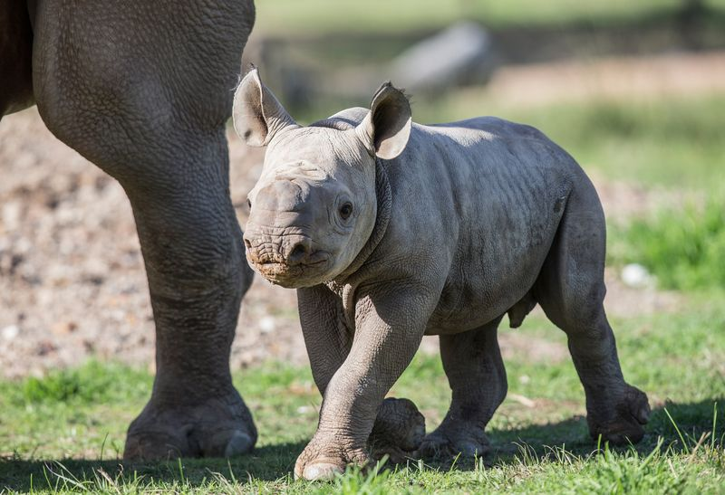 4_Black Rhino calf by Rick Stevens May 2015 (8)