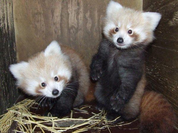 Perky Panda Cubs Meet the World