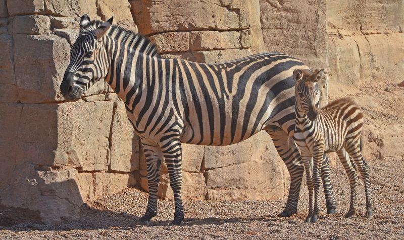 2_Cebras - madre y cría con 1 día de vida - Sabana africana de Bioparc Valencia