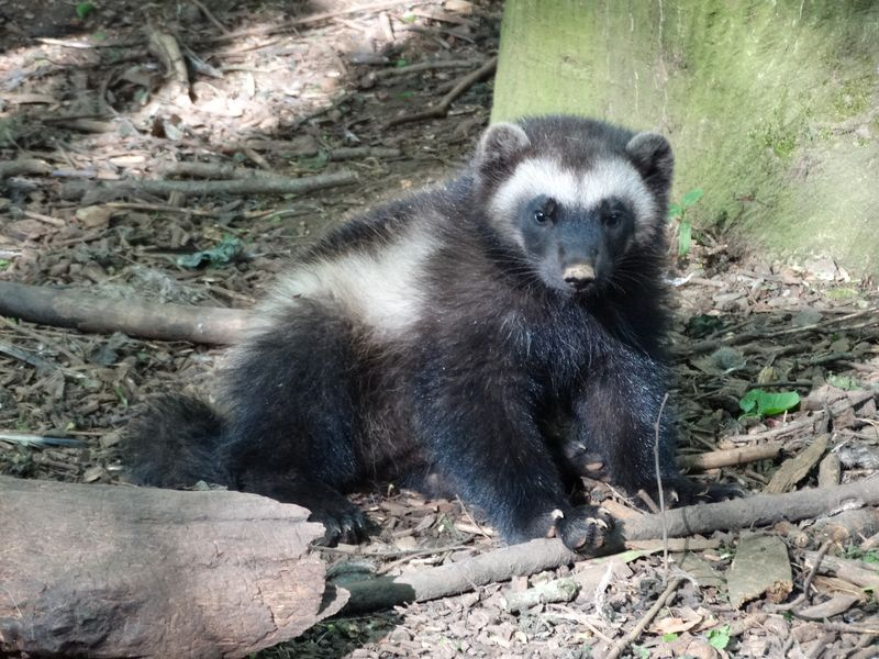 2_Wolverine cub (1)