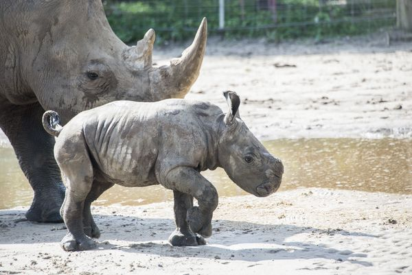 Rhino Calf Charges Into Lowry Park Zoo