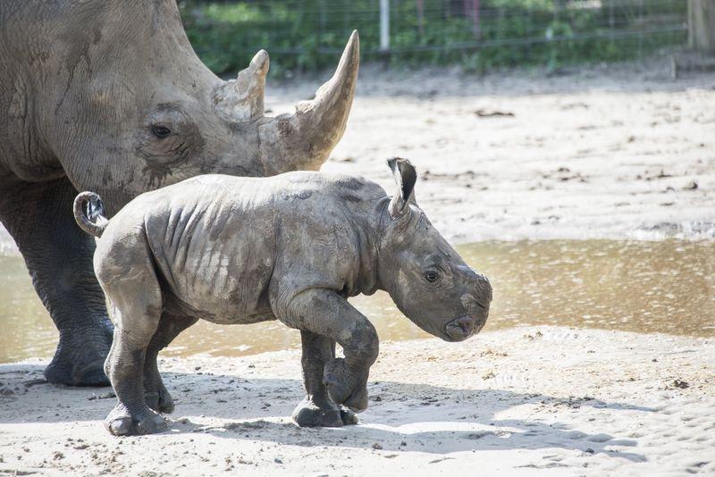 Africa white rhino Alake and calf may 27 2015