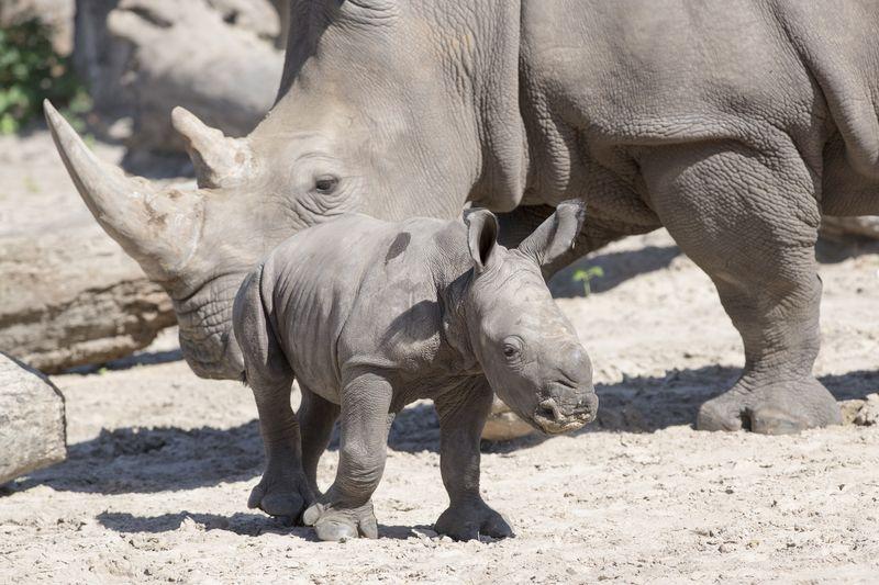 Africa white rhino Alake and calf 1 may 30 2015