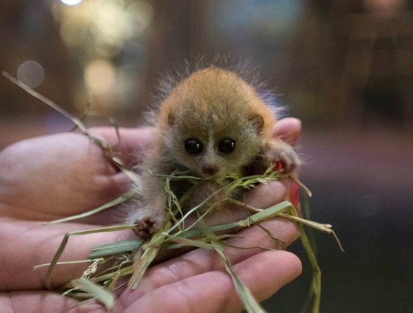 Tiny Primate Has a Really Tiny Baby at Columbus Zoo - ZooBorns