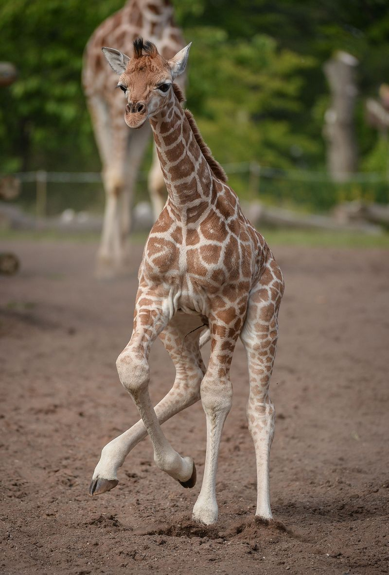 Baby Giraffe Tries Out His New (Very Long) Legs - ZooBorns
