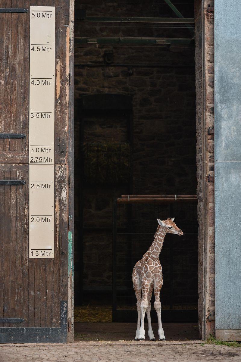 GiraffePaddock-8