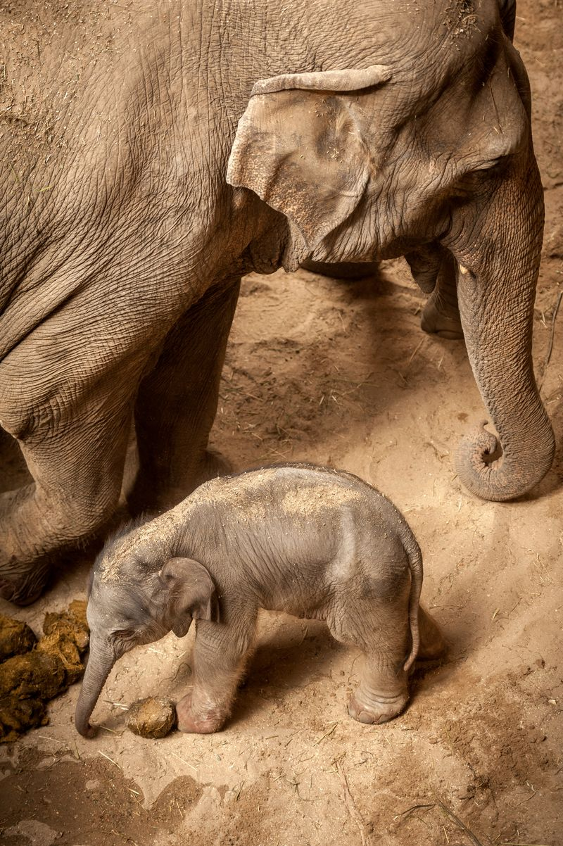 Baby-olifant-qiyo-planckendael-jonas-verhulst5