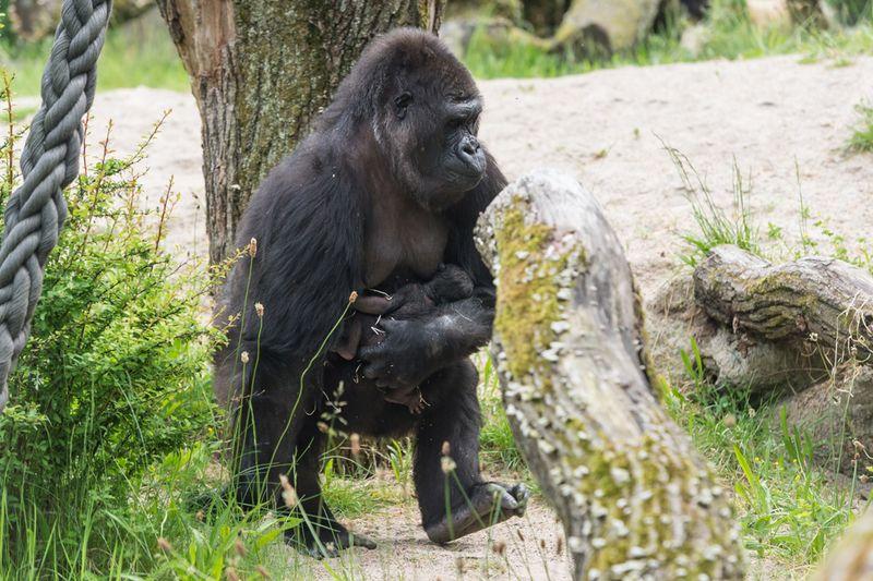 7_gorilla_joas_mit_jungtier_draussen_TOR9724