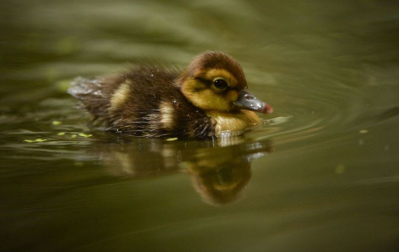 White Winged Ducklings-6