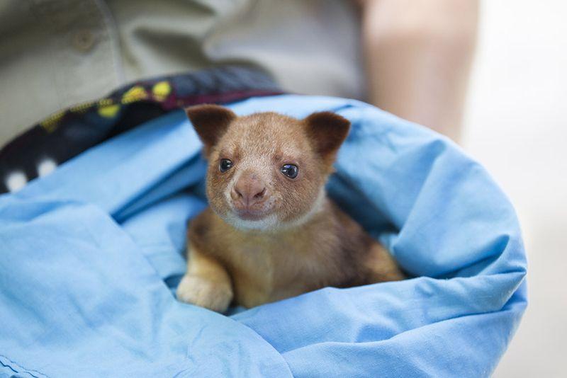 4_Adelaide Zoo Goodfellows Tree Kangaroo April 2015 Photo © Zoos SA Dave Mattner