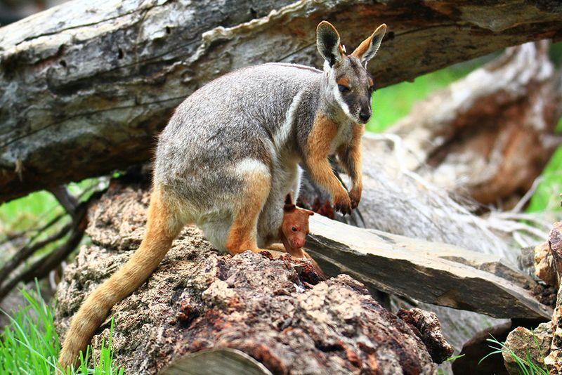 10_Adelaide Zoo Tree Kangaroo Febuary 2015-2