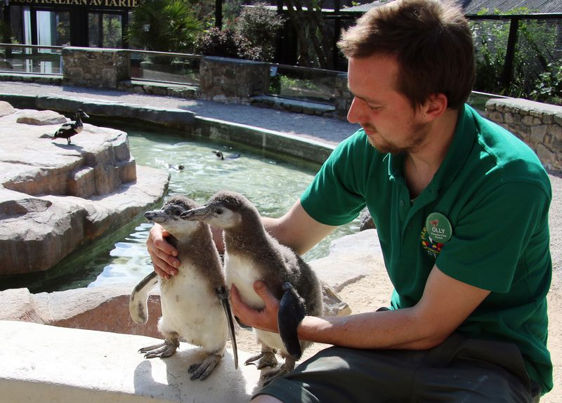 Penguin Chick and Keeper at Paradise Park HAyle Cornwall