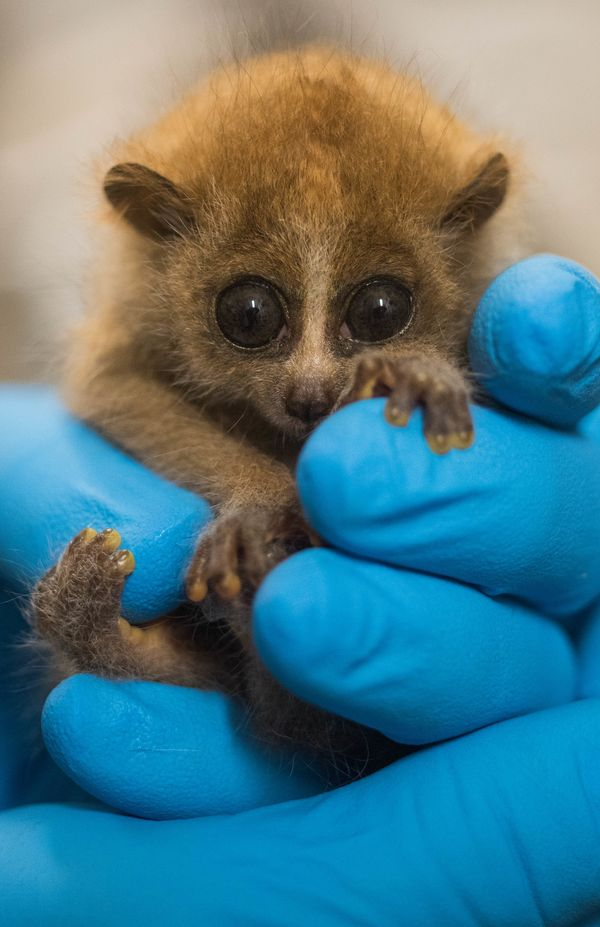 New Pygmy Slow Loris Baby in Cleveland