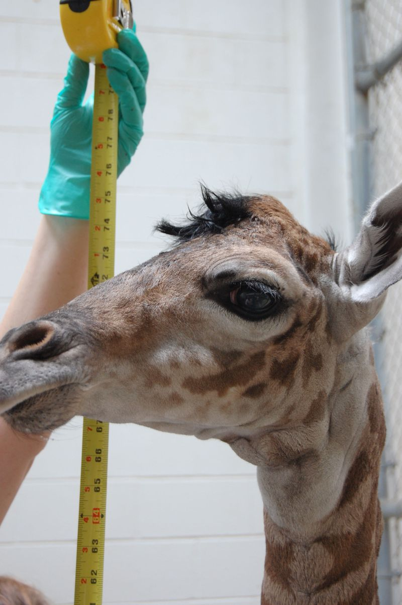 4_giraffe measuring up