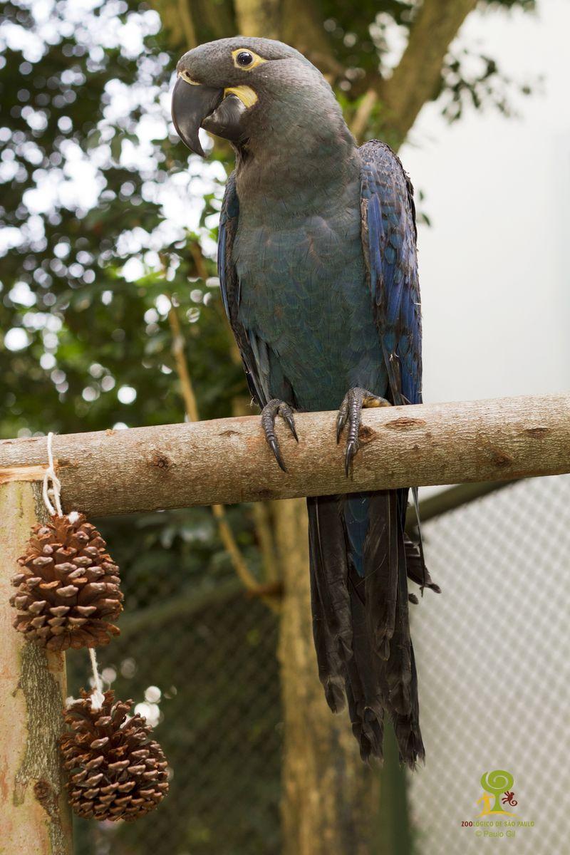 Filhote de arara-azul-de-lear_Foto Paulo Gil - ZooSP 8