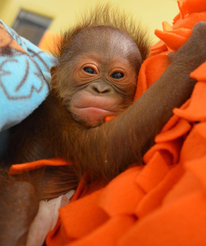4_Infant Bornean orangutan Keju_April 2015_Photo credit Henry Vilas Zoo