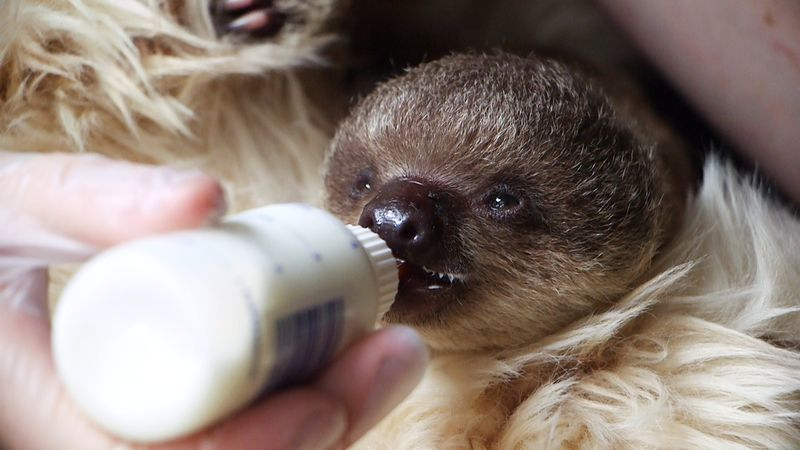 Sloth baby bottle feed at ZSL London Zoo - July 2015 (c)ZSL