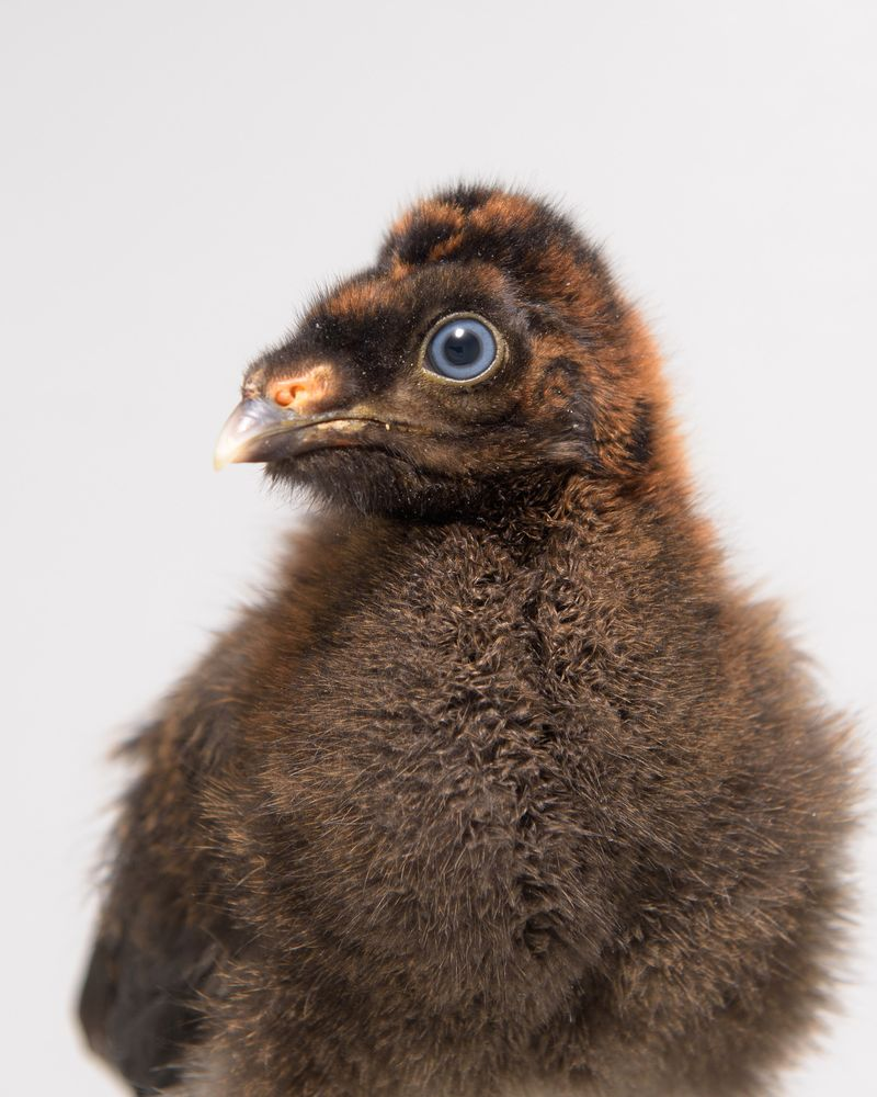 Horned guan chick 8-19-15_Ray Meibaum_Saint Louis Zoo_2309_hires