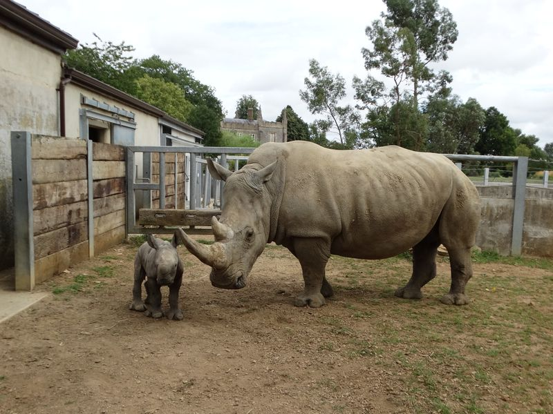 4_Baby Rhino in paddock with Nancy (6)