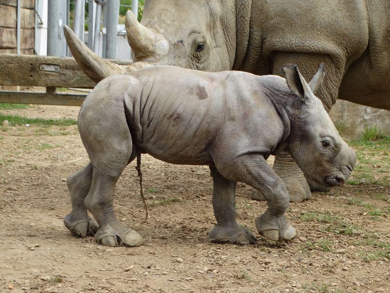 5_Baby Rhino in paddock (8)