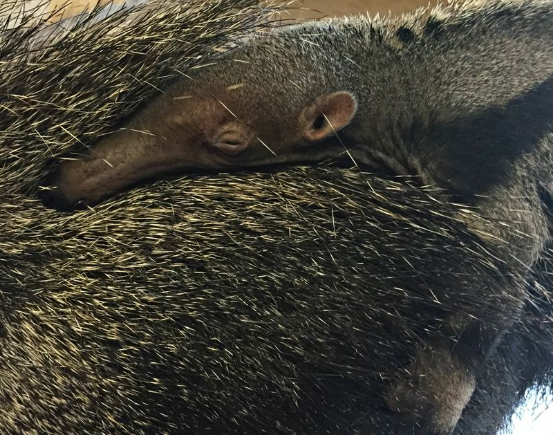 Zoo Boise Anteater Pup 4