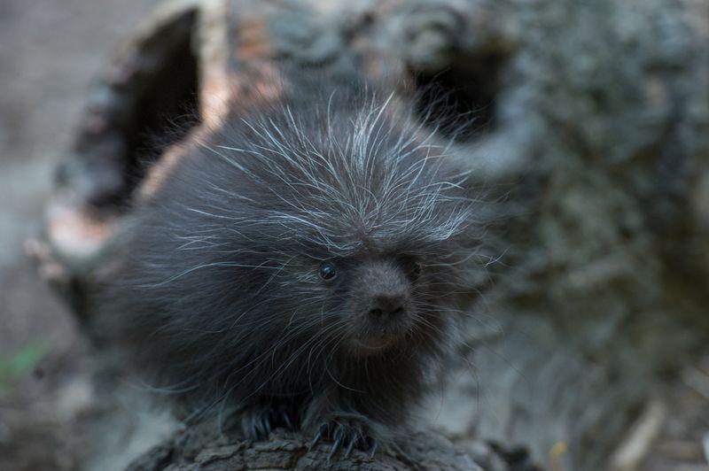 3_Julie Larsen Maher_1650_North American Porcupine Porcupette_CZ _BZ_08 07 15