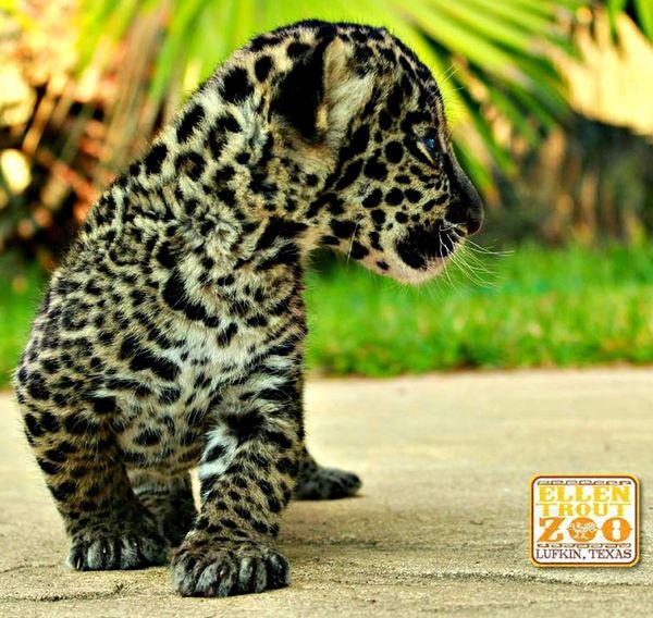 UPDATE: Jaguar Cub Gets His