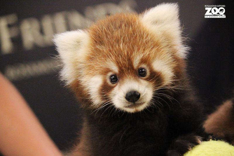 4_RGZ red panda 5_Pumori_MariaSimmons