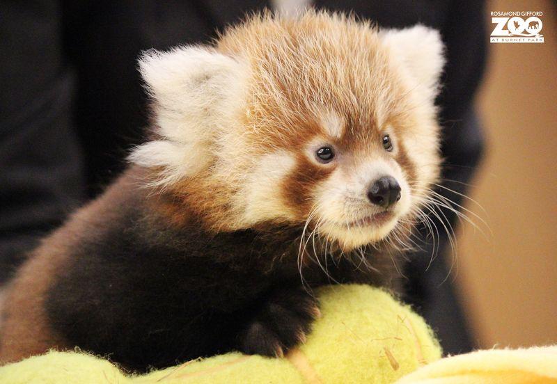 7_RGZ red panda 4_Rohan_MariaSimmons