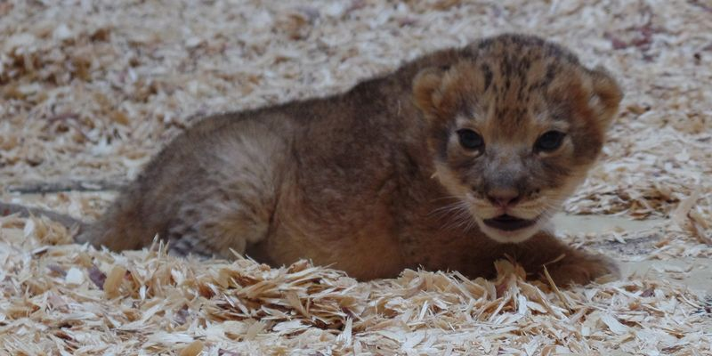 1_lion_cub_crop-1430724058811