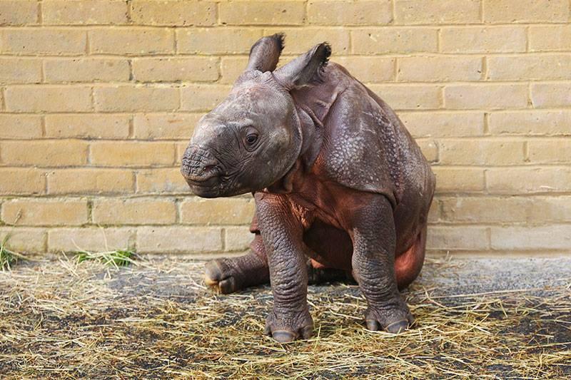 1_Whipsnade Rhino Calf