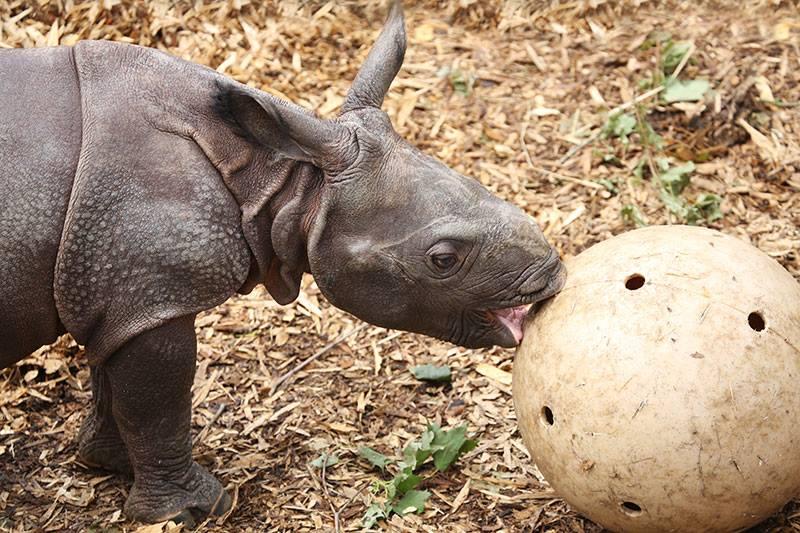 2_Whipsnade Rhino Calf