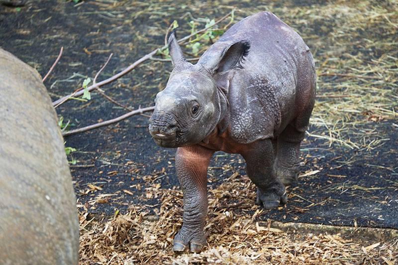 4_Whipsnade Rhino Calf