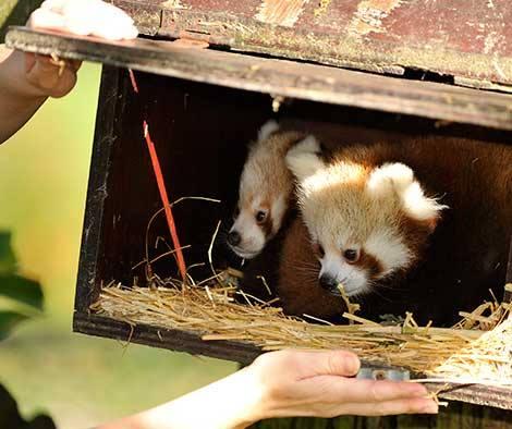 4_ZSL Whipsnade Red Pandas