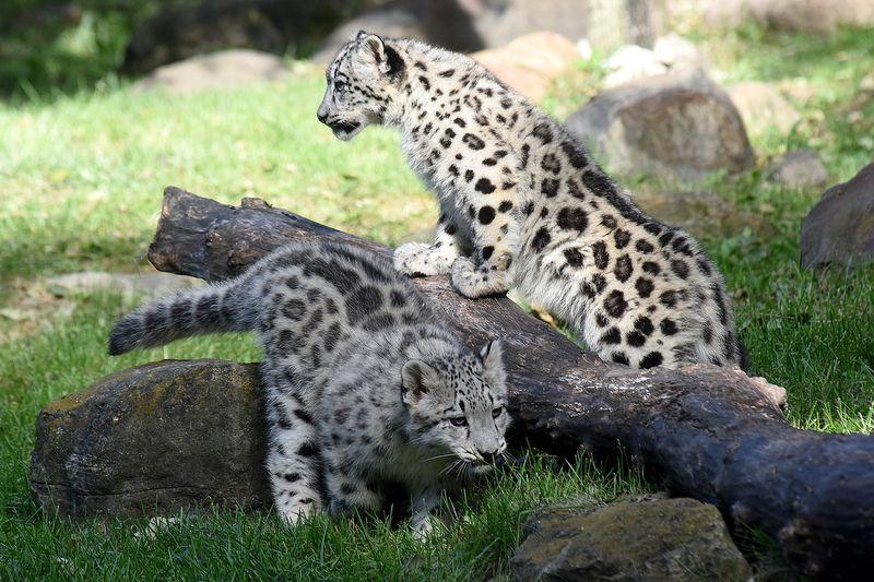 3_Brookfield Snow Leopard girls