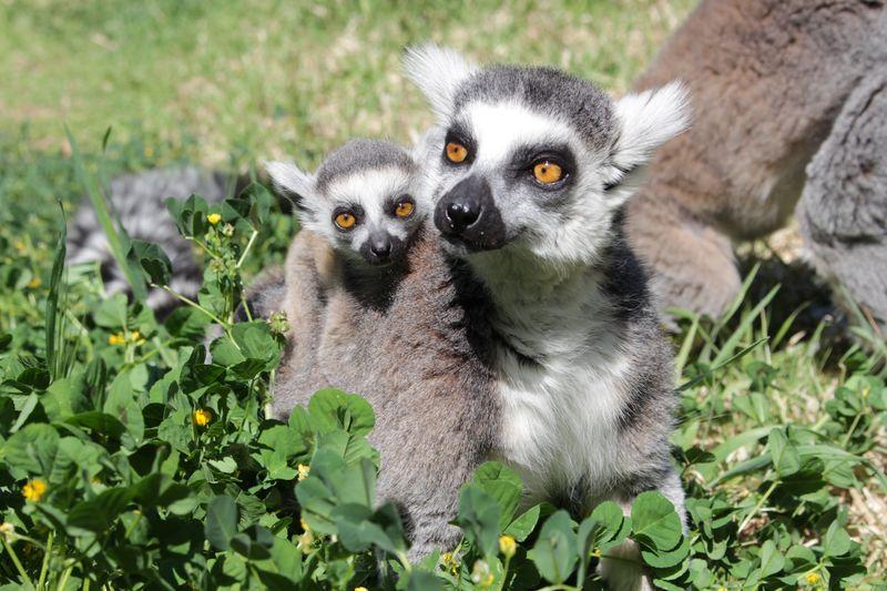 5_Ring tailed Lemur baby SM b
