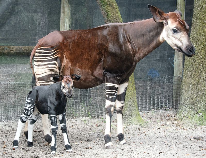 Africa okapi betty and calf oct 3 2015