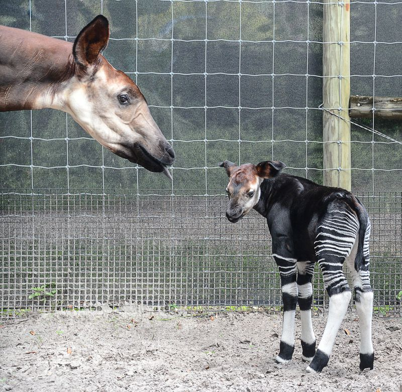 Africa okapi calf  oct 2 2015
